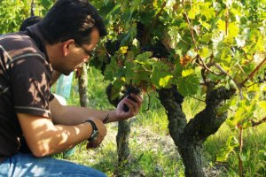 Picking the grapes during the Harvest Experience Day in the French vineyard in Chinon, the Loire Valley