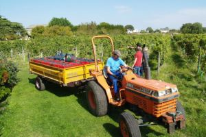 Taking the harvested grapes by tractor to the Fermentation Hall