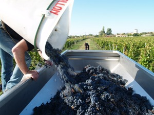Harvest Wine Experience Gift. Emptying the picked grapes.