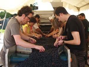 Sorting the grapes on the sorting table