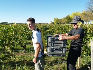 A porter collecting crates of harvested grapes