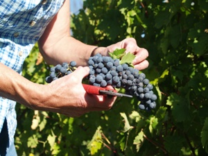 Pickeing the bunches of grapes during the harvest in Bordeaux