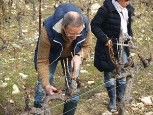 Original wine experience gift in the vineyard. Pruning the vines.