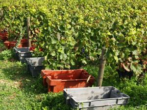 Containers at the start of each vine row to collect the harvested grapes