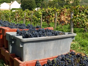 Filling the crates with the harvested grapes