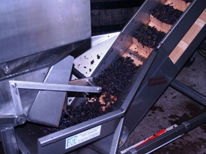 Filling the fermation tanks with the harvested grapes