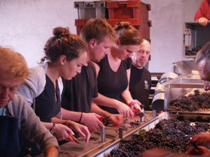 Sorting the good from bad grapes on the sorting table