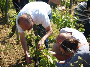 Cultivating the vines organically