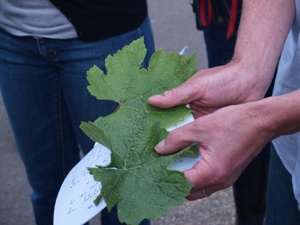 The difference betwwen Chardonnay and Pinot Noir Vine Leaves