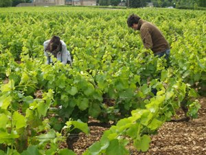 Working on the vines