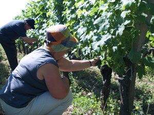 Effeuillage - removing leaves from the petit verdot vines