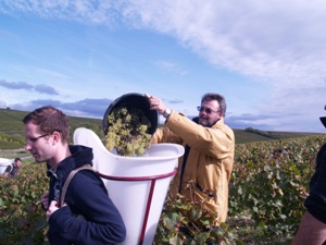 Emptying the harvested grapes into the porter's basket
