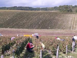 Harvest Experience in Chablis, Burgundy, France at Domaine Jean-Marc Brocard