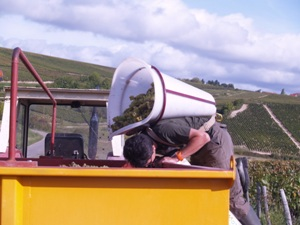 Emptying the harvested grapes into the trailer without falling in