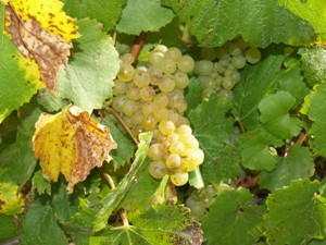 Chardonnay grapes ready for picking