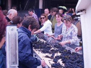 Sorting the Pinot Noir graoes on the sorting table