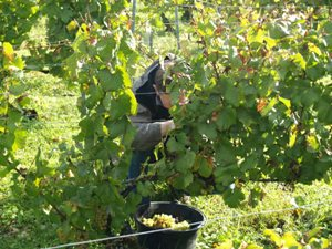 Grape Harvester in full action