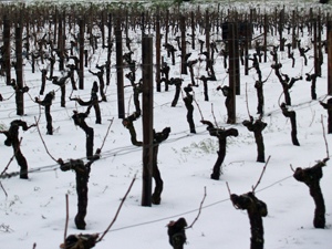 The snow covers the vineyards