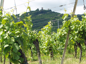 Adopt a vine in France, Alsace