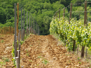 Adopt a vine in Alsace, France