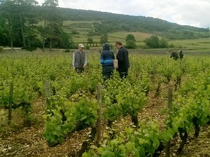 Vine-tending course in Santenay, Burgundy, France