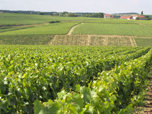 Vineyard experience in Chablis, organic white wine gift