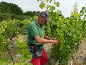 Vineyard experience working on the vines in the Loire Valley, France