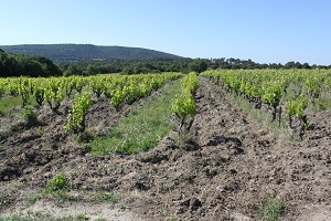 Vine adoption in the Rhone Valley