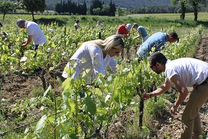 Wine gift vine de-budding course at the winery