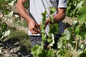 Adopt a vine in Rhône Valley, France