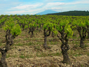 Adopt a vine in Rhone Valley, France