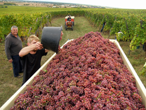 Originial wine enthusiast gift. Participate in the harvest at a French organic vineyard
