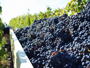 Adopt a vine and pick grapes during the harvest with the Gourmet Odyssey Wine Experience gift