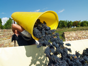 Join the harvest and learn the hard work that goes into making wine