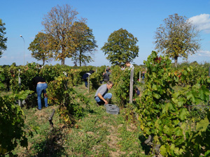 Adopt a vine in Bordeaux and get involved in the harvest of your grapes