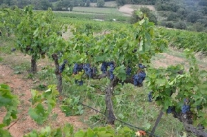 Adop a vine in France, Languedoc