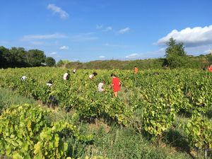 Harvesting the Grenache plot