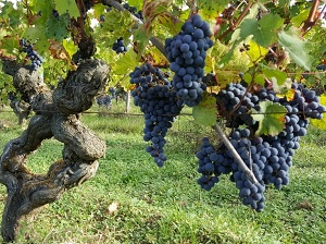 Vine adoption and grapes harvest experience in France