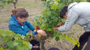 Pick your own grapes from your adopted vines with the Gourmet Odyssey Experience Wine