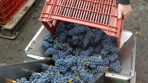 Adopt vines in Chinon and harvest the grapes with the winemaker