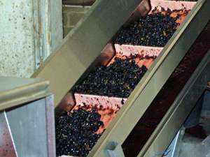 Conveyor belt during French harvest experience at Domaine la Cabotte