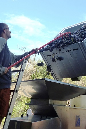 The harvested bunches pass through the de-stemming machine to separate the berries from the stalks.