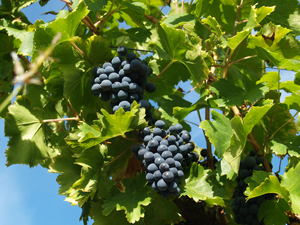 Original gift idea for wine lovers.  Adopt a vine and partipate in the harvest of your grapes