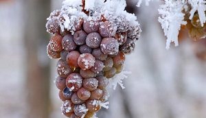 Pick up grapes, Ice wine