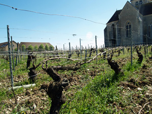 Adopt-a-vine gift for wine lovers in Chablis, France