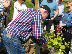 Learn how to de-bud vines alongside the wine-maker