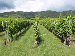 Adopt some organic vines in Alsace.  The perfect gift for an organic wine lover.