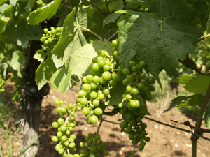 Grapes appearing on the organic vines
