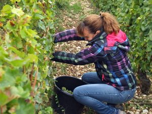 Participate in the harvest and learn about the art of winemaking