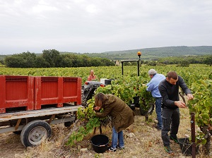 harvest experience day at the winery in the cotes du rhone france